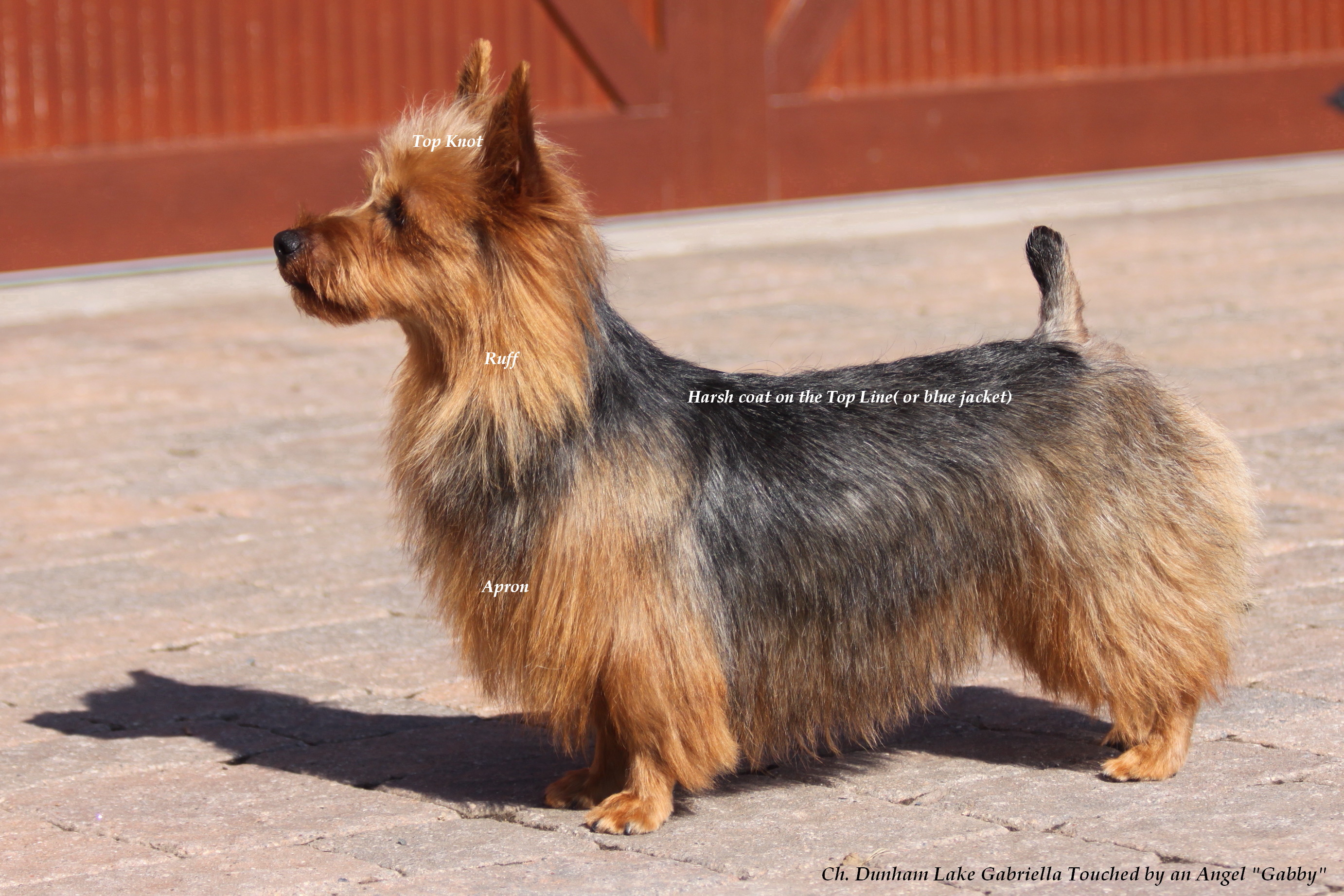 How to Groom a Silky Terrier recommendations